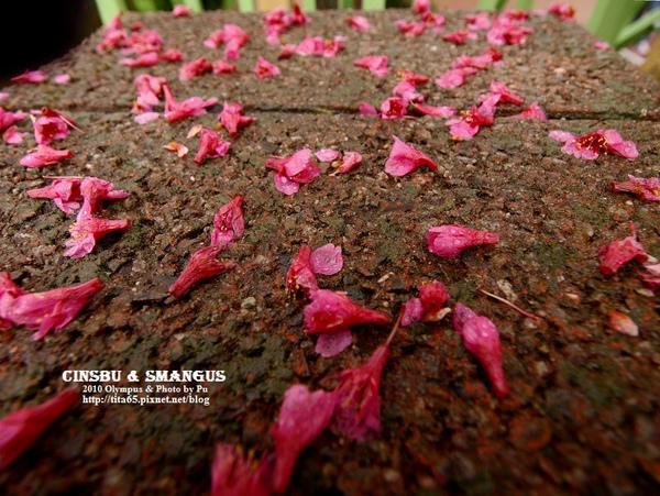 被雨打落的櫻花