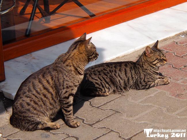 虎班貓每一隻都很漂亮@Taksim