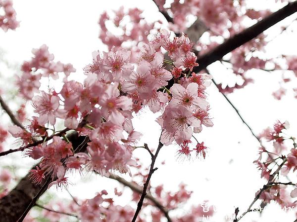 望鄉部落~春之櫻