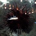 吃蝦子的海膽
