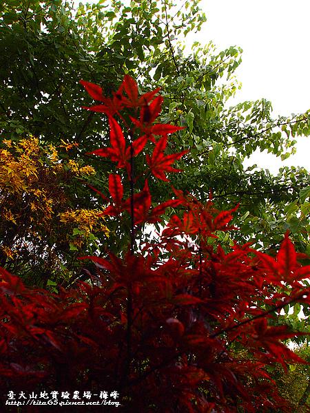 雖然是八月~~~但是有紅葉