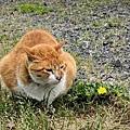 kamakura cat