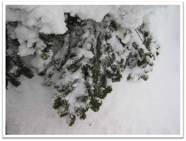 樹冰3-1.jpg