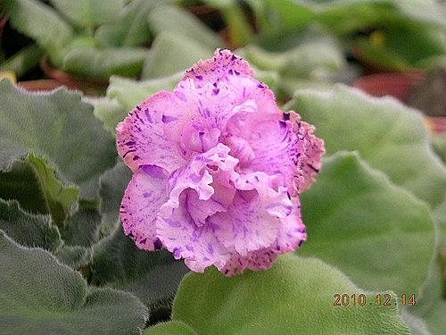' Tiyuan's Berry Puffs '- 堤緣的莓果泡芙