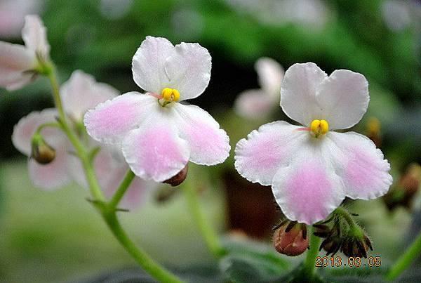 ' Tiyuan's Pink Bunny '- 堤緣的粉紅兔