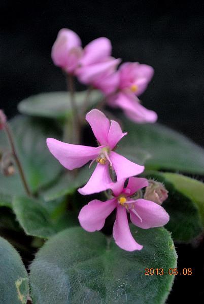 ' Tiyuan's Pink butterfly '-  堤緣的粉紅蝴蝶
