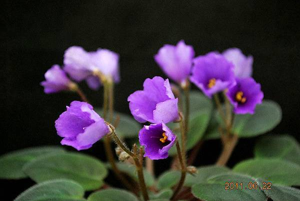 Tiyuan purple wind chame紫風鈴.jpg