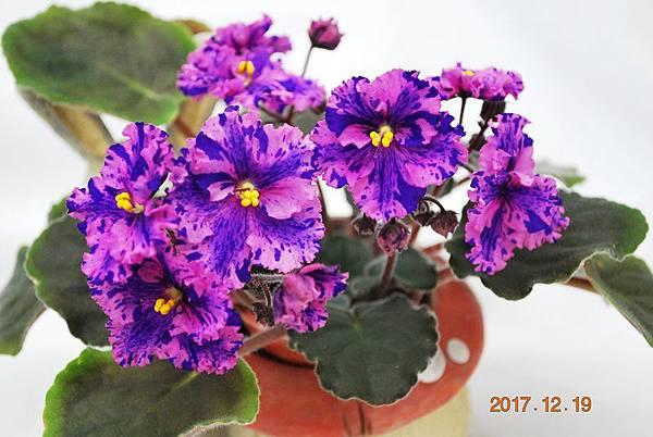 0-8縞花版-維也納森林