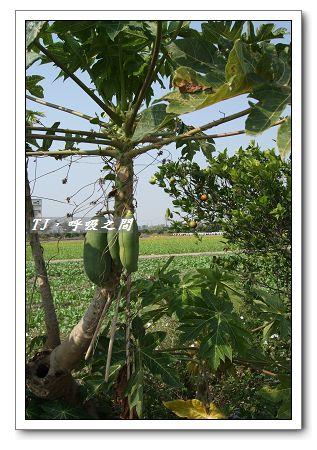 木瓜樹.jpg