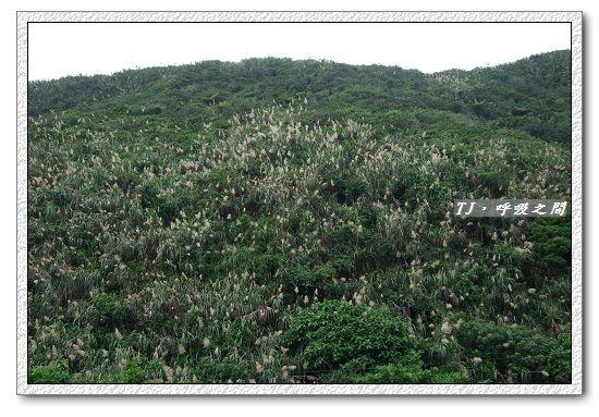 蘆葦花叢.jpg