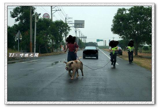 20111021 遇見路邊小豬.jpg