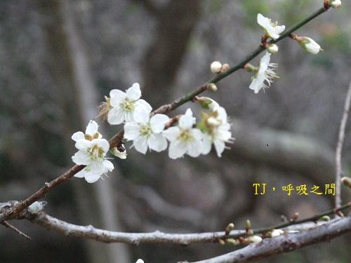 小黃山的梅花.jpg