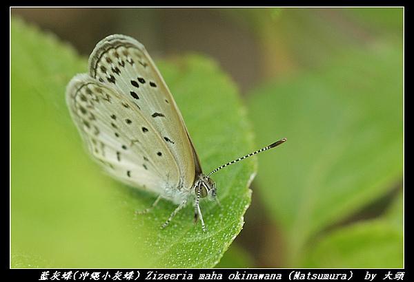 藍灰蝶(沖繩小灰蝶) Zizeeria maha okinawana (Matsumura)