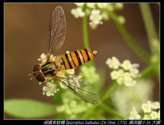 細扁食蚜蠅 Episyrphus balteatus (De Geer, 1776)