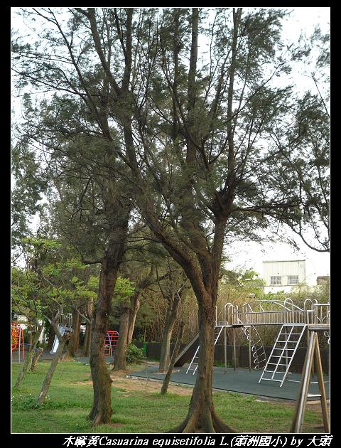 木麻黃Casuarina equisetifolia L.
