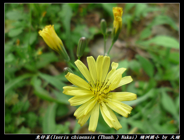 兔仔菜 Ixeris chinensis   (Thunb.) Nakai, 1920