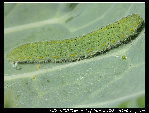 緣點白粉蝶 Pieris canidia (Linnaeus, 1768)  (臺灣紋白蝶)