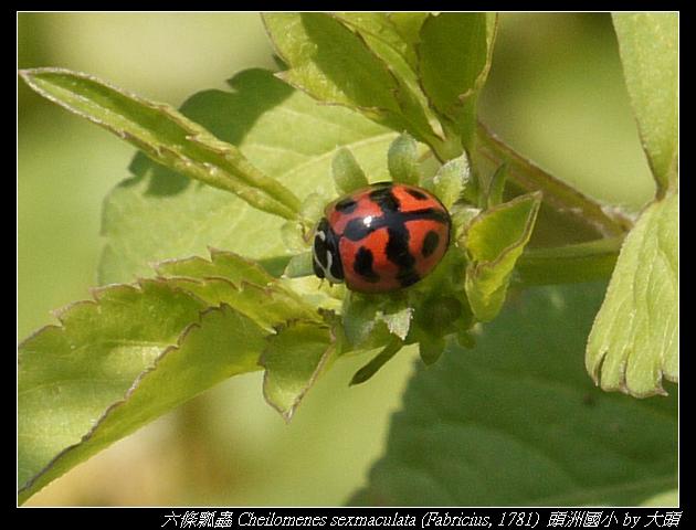六條瓢蟲 Cheilomenes sexmaculata (Fabricius, 1781 )