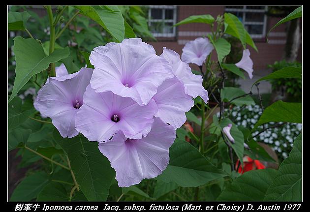 樹牽牛 Ipomoea carnea  Jacq. subsp. fistulosa (Mart. ex Choisy) D. Austin 1977
