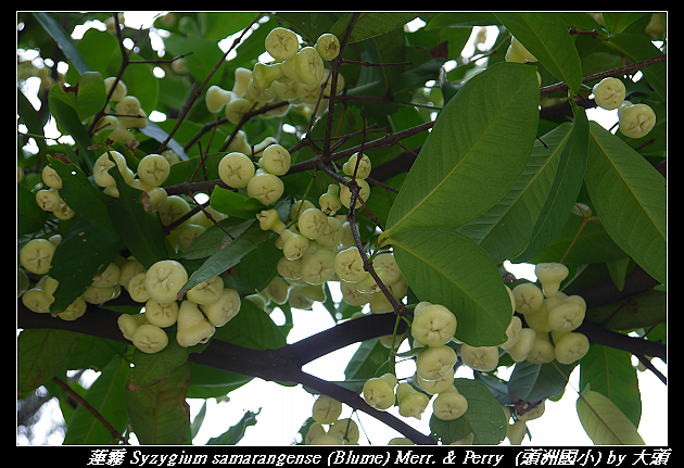 蓮霧 Syzygium samarangense (Blume) Merr. & Perry