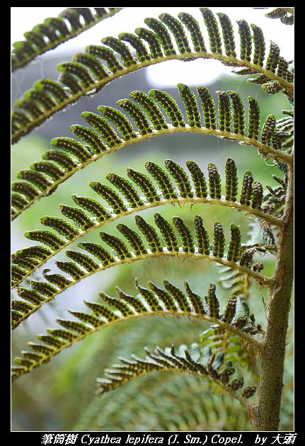 筆筒樹 Cyathea lepifera (J. Sm.) Copel.
