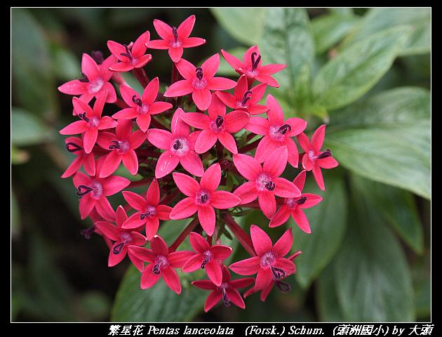 繁星花 Pentas lanceolata   (Forsk.) Schum.