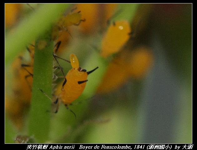 夾竹桃蚜 Aphis nerii   Boyer de Fonscolombe, 1841
