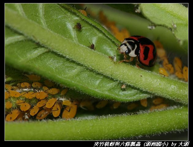 夾竹桃蚜與六條瓢蟲