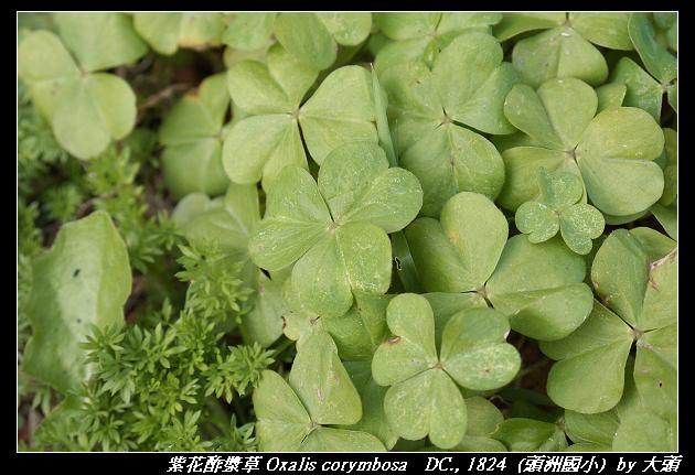 紫花酢漿草 Oxalis corymbosa   DC., 1824