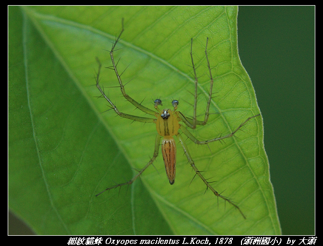 細紋貓蛛 Oxyopes macilentus L.Koch, 1878