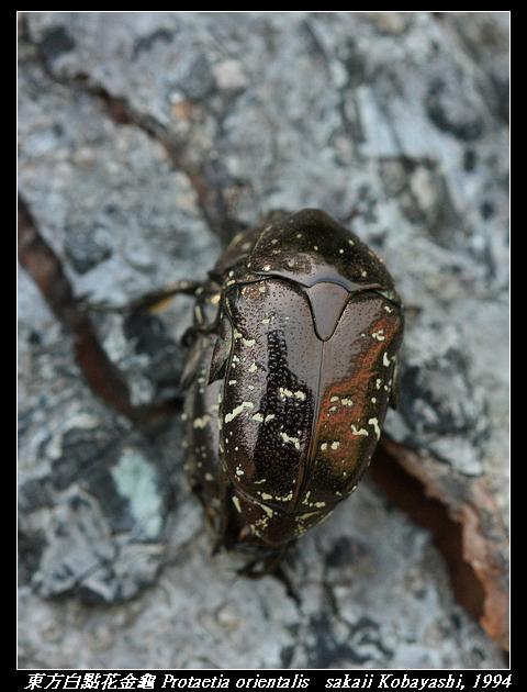 東方白點花金龜 Protaetia orientalis   sakaii Kobayashi, 1994