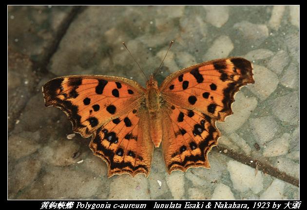 黃鉤蛺蝶 Polygonia c-aureum   lunulata Esaki & Nakahara, 1923