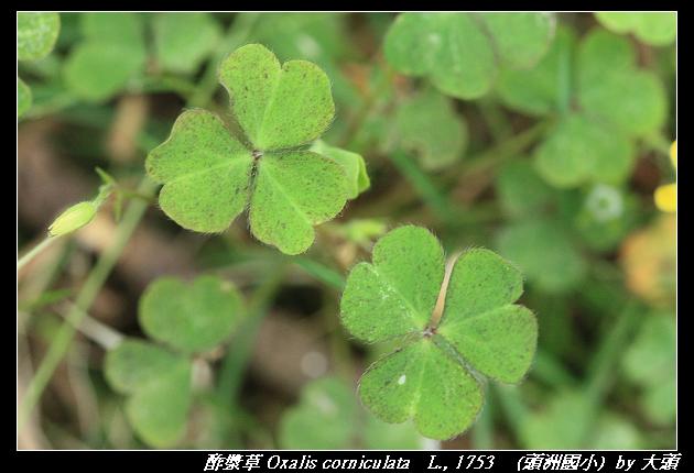 酢漿草 Oxalis corniculata   L., 1753