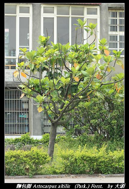 麵包樹 Artocarpus altilis   (Park.) Forst.