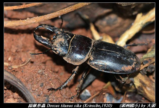 扁鍬形蟲 Dorcus titanus sika (Kriesche,1920)