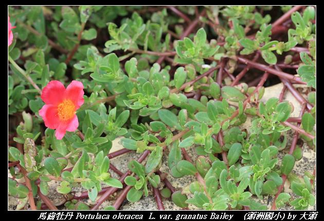 馬齒牡丹 Portulaca oleracea  L. var. granatus Bailey