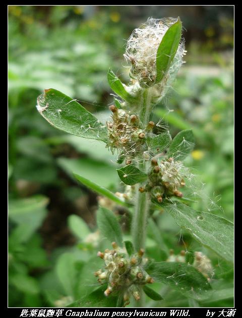 匙葉鼠麴草 Gnaphalium pensylvanicum Willd.