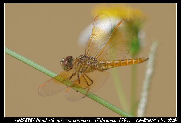 褐斑蜻蜓 Brachythemis contaminata   (Fabricius, 1793)