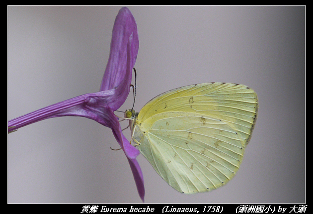 黃蝶 Eurema hecabe   (Linnaeus, 1758)