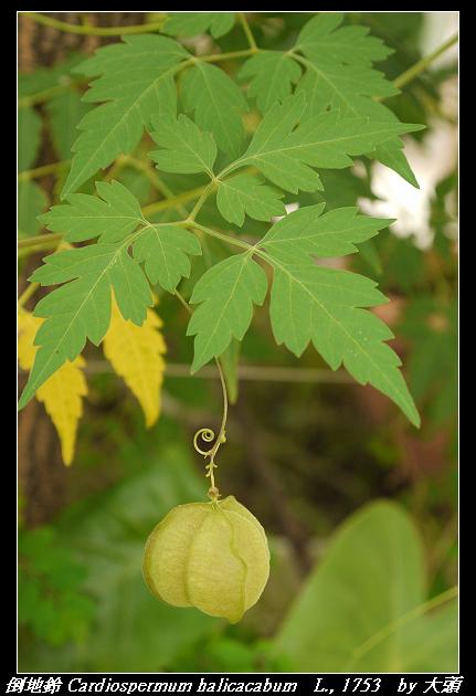 倒地鈴 Cardiospermum halicacabum   L., 1753