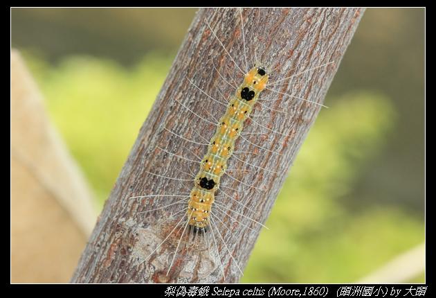 梨偽毒蛾 Selepa celtis (Moore,1860)