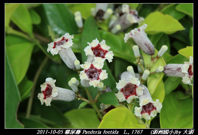 雞屎藤 Paederia foetida   L., 1767