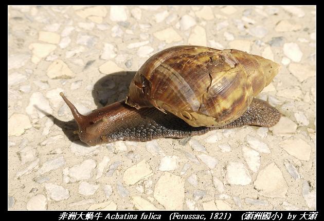 非洲大蝸牛 Achatina fulica (Ferussac, 1821)