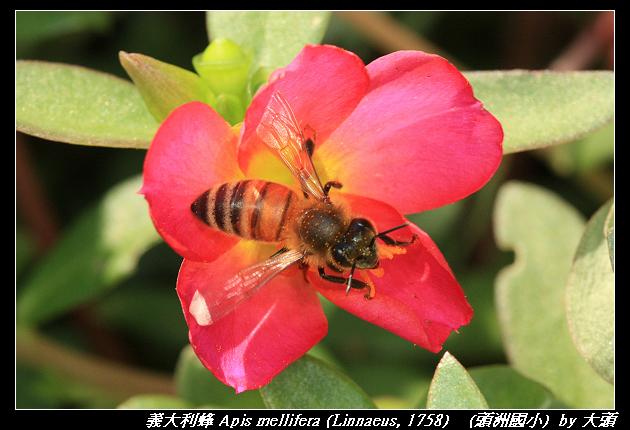義大利蜂 Apis mellifera (Linnaeus, 1758)