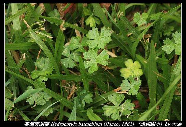 臺灣天胡荽 Hydrocotyle batrachium (Hance, 1862)