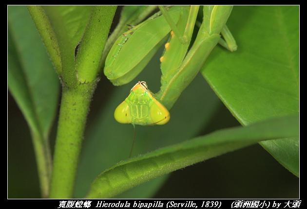 寬腹螳螂  Hierodula bipapilla (Serville, 1839)