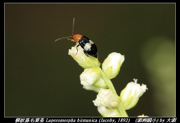 橫紋寡毛葉蚤 Luperomorpha birmanica (Jacoby, 1892)