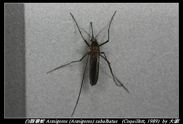 白腹叢蚊 Armigeres (Armigeres) subalbatus   (Coquillett, 1989)