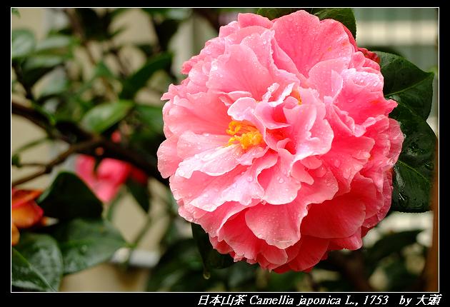 日本山茶 Camellia japonica L., 1753