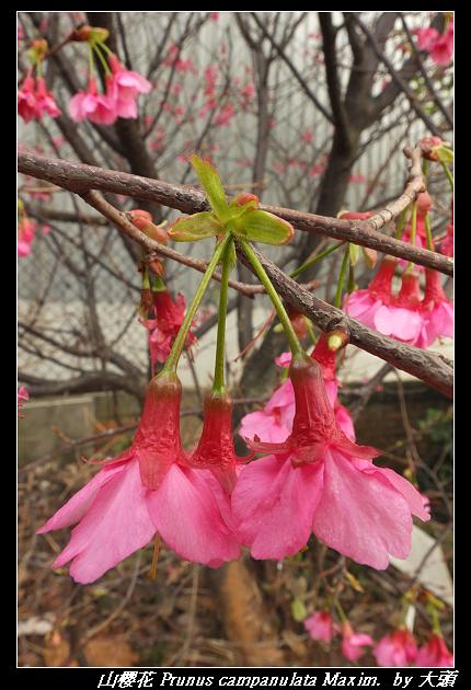 山櫻花 Prunus campanulata Maxim.